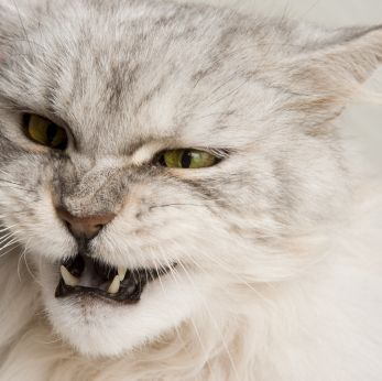 Is Your Cat A Bully? Tips to help curb aggressive behavior #cats #cat behavior