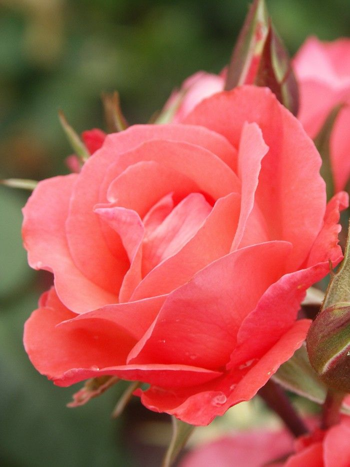 'Little Miss Perfect' | Floribunda Rose. Bred by Rob Somerfield (New Zealand, before 2007)
