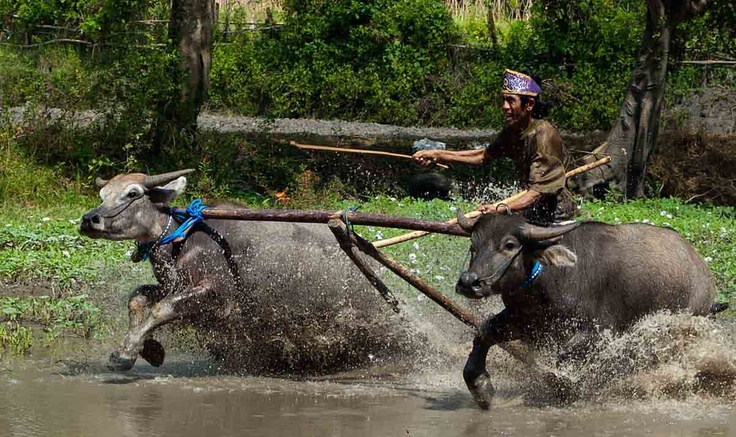 Barapan Kebo or Buffalo race is a traditional game in Sumbawa, Indonesia.