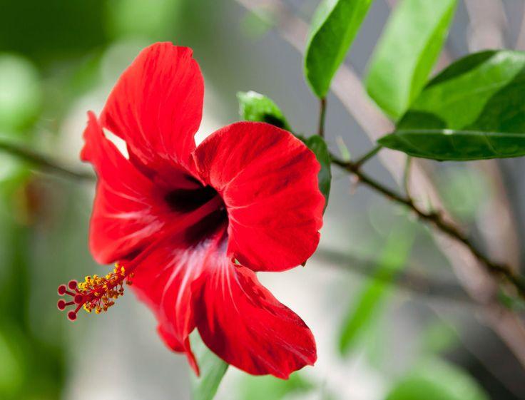 Symbole d'été et d'exotisme, l'hibiscus est un arbuste à fleurs à qui l'on doit des explosions de couleurs extrêmement riches et variées. Il est de coutume...