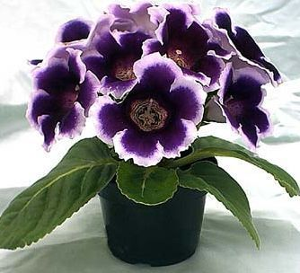 Gloxinia means love at first sight