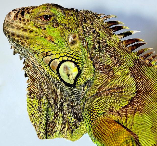 GREEN IGUANA By Musicaltone Via Flickr