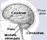 This brain image shows the location of the cerebrum.