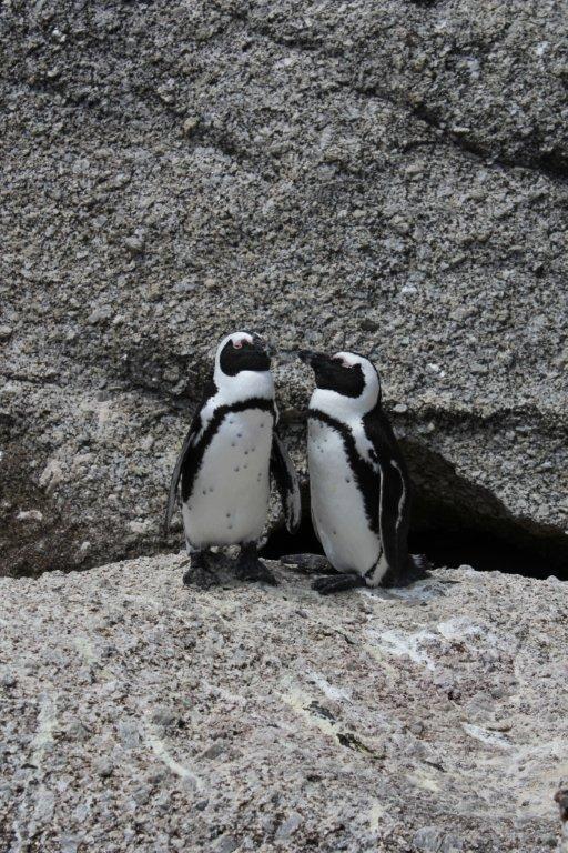 Boulders Beach –pingviinikortteeri