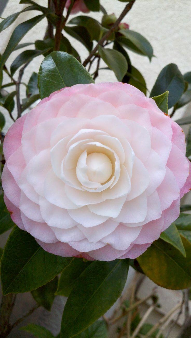 Camillia japonica ~ 'Nuccio's Pearl' ~ Rose Of Winter