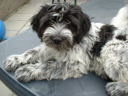 schapendoes dog photo | Schapendoes Kennel Ruchiëng Beauty dogs en Nederbel's