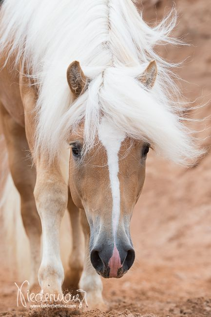 Der Haflinger ist ein Gebirgspferd, das heute in erster Linie als robustes Freizeitpferd zum Reiten eingesetzt wird. Offiziell zählt der Haflinger zu…