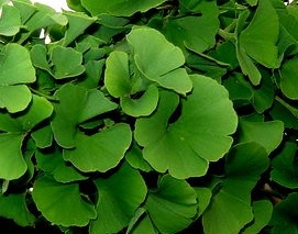 Ginkgo biloba ' Mariken ' Dwarf Maidenhair Tree