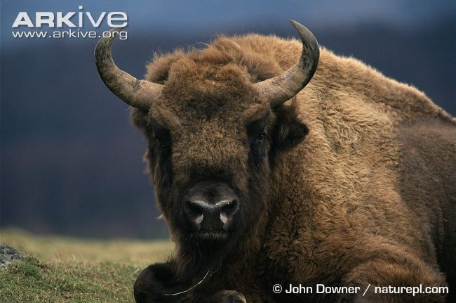 The European bison (Bison bonasus), or 'wisent', is similar in appearance to its North American relative (Bison bison). Although smaller in size, it has the characteristic thickset body shape with...