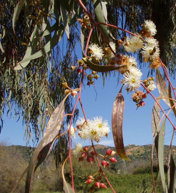 WILD HERBS OF CRETE - Eucalyptus camaldulensis