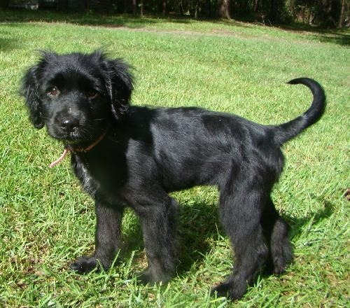 Flat-coated Retriever / Cocker Spaniel / Black Lab Puppy for adoption in Wellborn, FL  This puppy looks like my puppy only different colors!