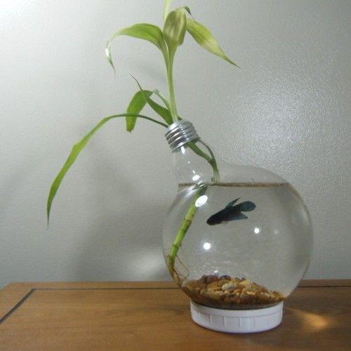 Beta Fish in a Light Bulb with a Draceana