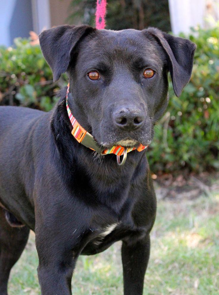 Labpointer dog for adoption in el cajon ca adn605622