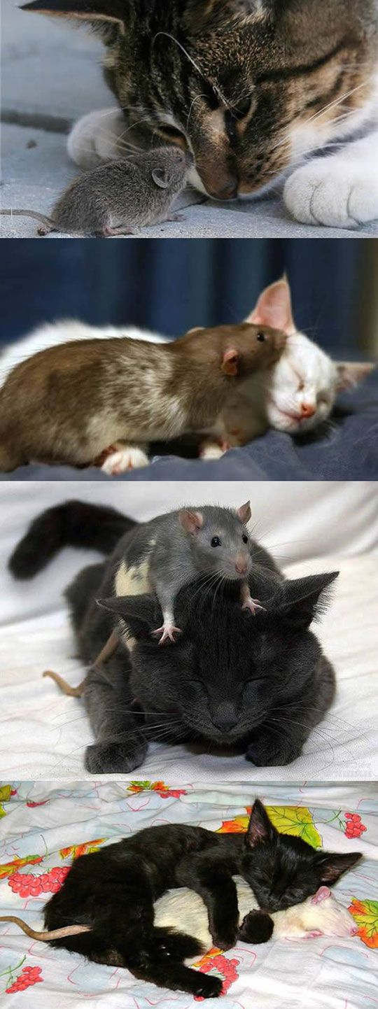 Lots of these are RATS, and if I ever found my cat cuddling one it would be fired!!  Where I live there are people paid to keep rats out