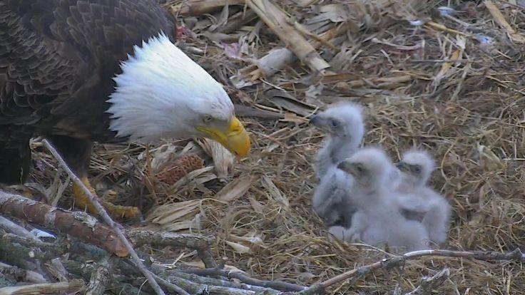 http://explore.org/live-cams/player/decorah-eagles-north-nest