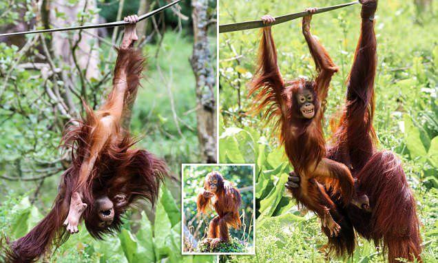 Playful Bornean orangutan celebrates fourth birthday with her mother