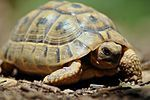 želva žlutohněda