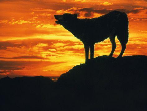 夕暮れ時に遠吠えをする狼