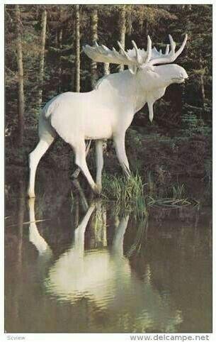 Albino Moose bull.