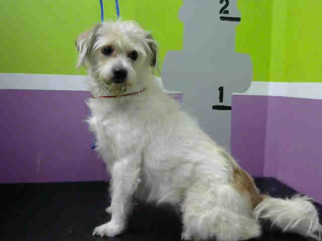 ABY is an adoptable Maltese searching for a forever family near Houston, TX. Use Petfinder to find adoptable pets in your area.