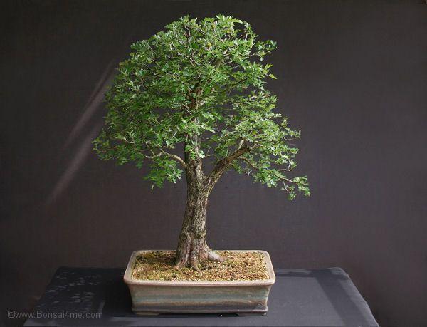 De haagdoorn bonsai boom