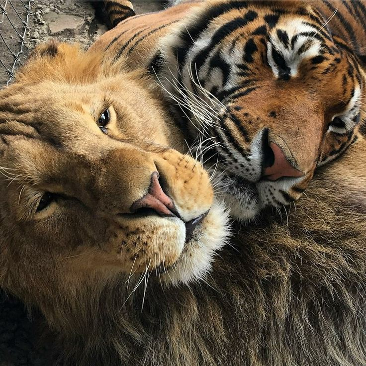 Картинки львов и тигров красивых