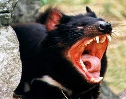 wildlife - Tasmanian Devil...AUSTRALIA