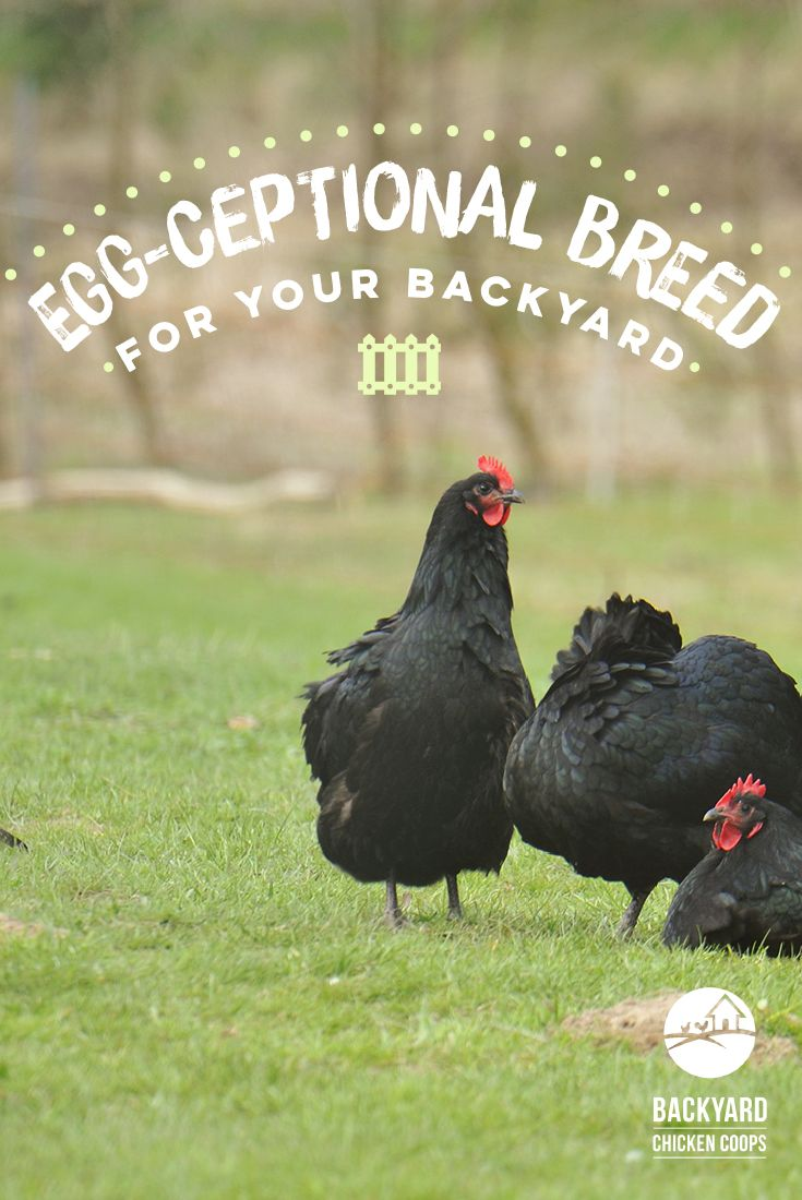 Their calm temperament and all round great personality make these chooks a perfect addition to any flock. Find out more about this friendly chicken here,  http://www.backyardchickencoops.com.au/5-reasons-to-love-your-australorp-chickens  #loveyourchickens  #backyardchickens #australorpchickens