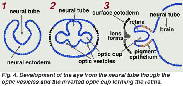 Gross Anatomy of the Eye by Helga Kolb – Webvision
