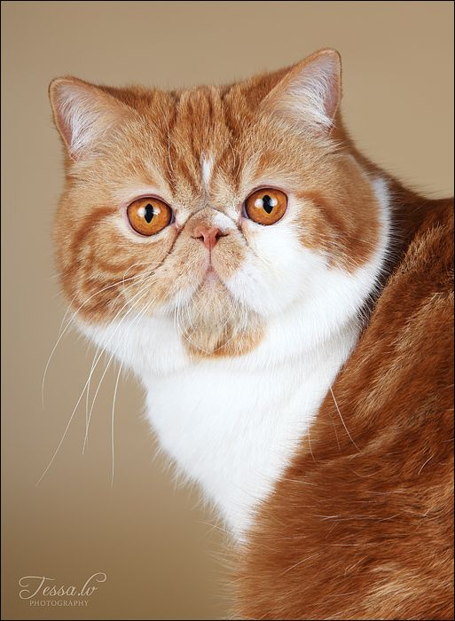 17 Best images about Exotic Shorthair on Pinterest   Ohio ...