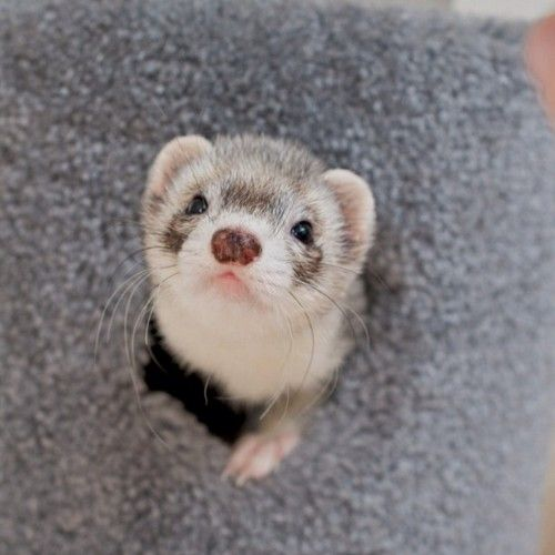 Funny wittle ferret :3