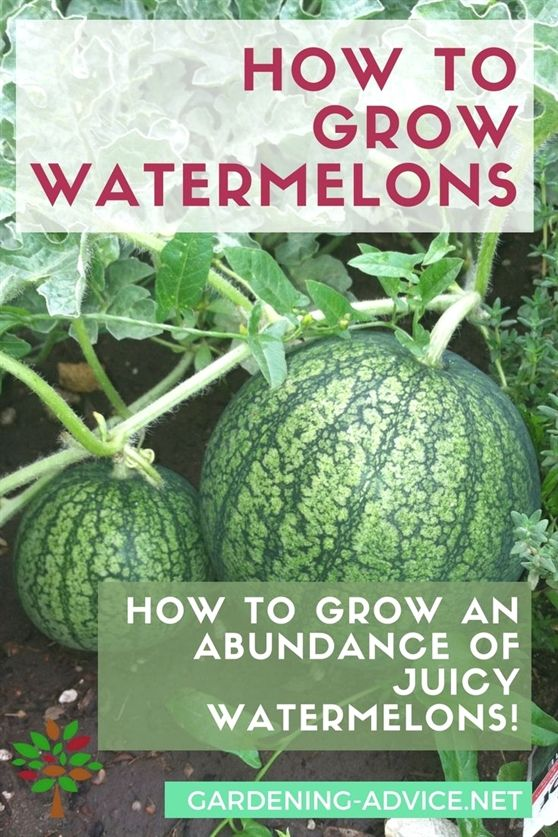 how to grow watermelons in australia