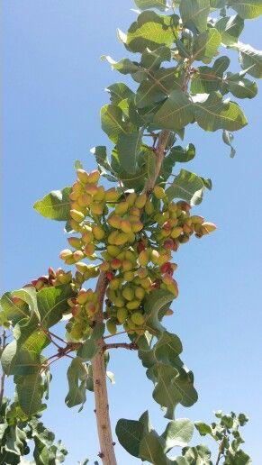 Growing Pistachios: 106 Best Pistachio Tree Images On Pinterest
