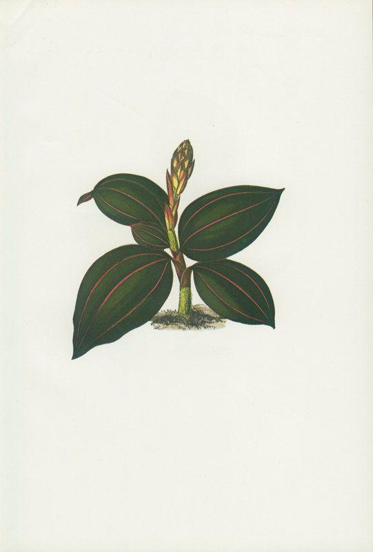 Vintage Leaf Print Royal Jewel Orchid by MarcadeVintagePrints