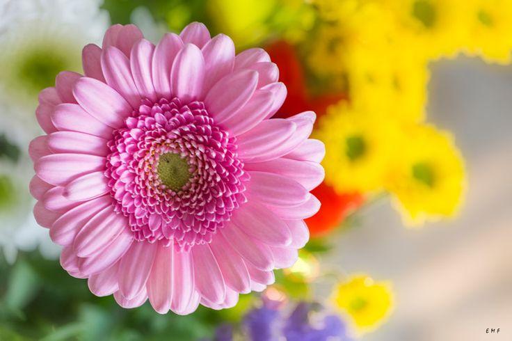 Pink is beautiful (Photographie) par Emmanuelle Menny Fleuridas NIKON D7100 - objectif : 55.0-300.0 mm f/4.5-5.6 - distance focale : 120,0 mm (35 mm : 180,0 mm) - Exposition : 1/25 s; f/4,8; ISO 200 - Contrôle Matrice - Flash Non déclenché