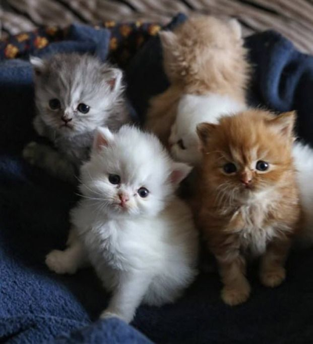 2 precious white fluffy kittens and their equally adorable fluffy friends :)