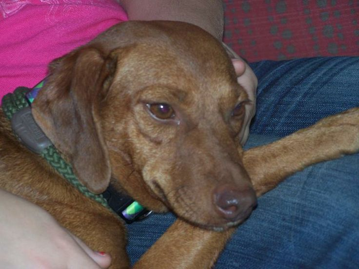 Adopt Emmy Lou on Smart dog, Animal rescue, Dachshund mix