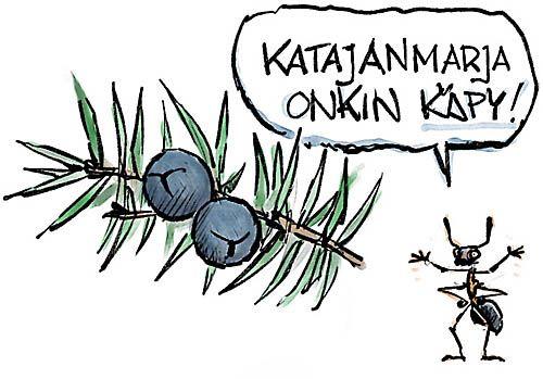 Katajanmarja on käpy, keywords:  kataja katajanmarja käpy muurahainen kekomuurahainen piirros