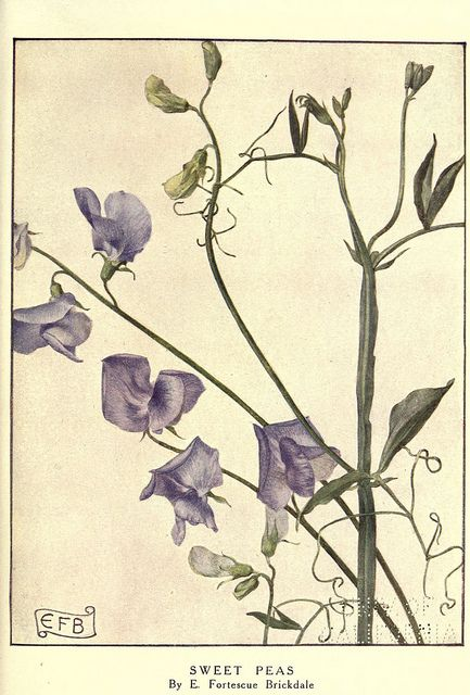 Botanical illustration of sweet peas by E Fortescue Brickdale from Biodiversity Heritage Library
