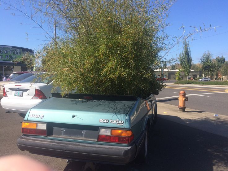 Not something you see every day! Tree growing out of a volvo convertible in Portland  © Sarah Murphy