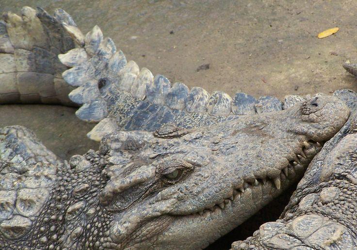 Croc doze. Photo by Wayne Visser (Vietnam, 2011).