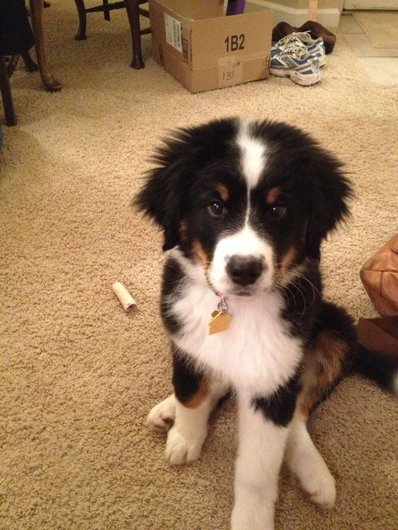 Border Collie and Bernese Mountain Dog Mix!