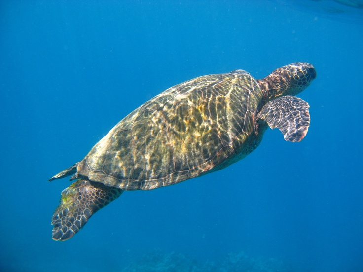 129 best images about by water on pinterest trips for Fish species hawaii