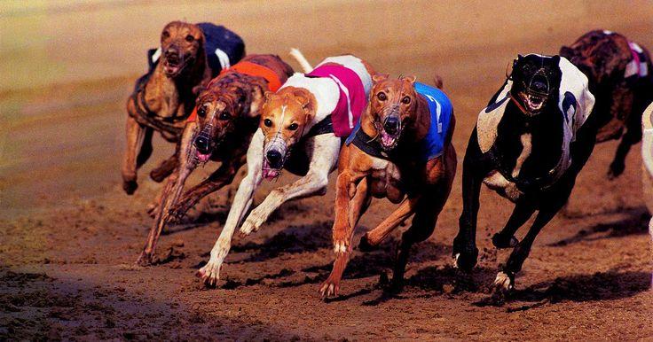 Cómo apostar en carreras de Galgos. Las carreras de galgos son uno de los deportes más fáciles para apostar. Similares a las carreras de caballos, apostar a un galgo, o apostar a un perro, se trata de las probabilidades, ganar dinero y divertirse haciéndolo. Para colocar una apuesta en carreras de galgos, sigue estos pasos.