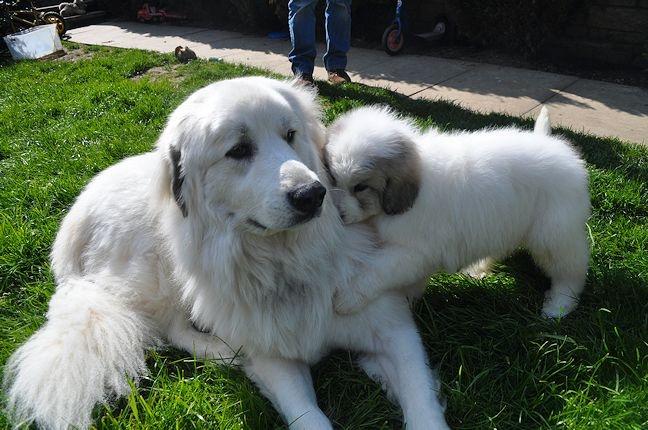 Pyrenean Mountain Dog | Big Mountain Dogs | Pinterest