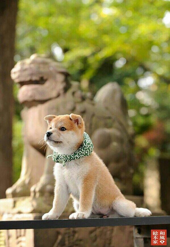 """柴犬, Shiba Inu <3 ~lisa. """"Shiba Inu puppy -歴代豆助…"""