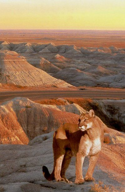 Lion - Badlands, South Dakota   - Explore the World, one Country at a Time. http://TravelNerdNici.com