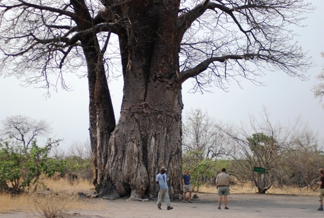 Baobab Tree in Chobe National Park
