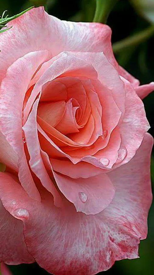 Flowers - Pink rose - by Yapa Changrai