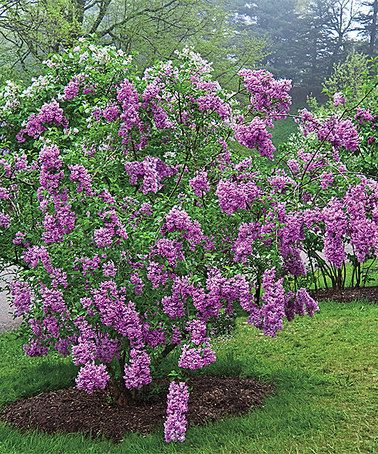 Another great find on #zulily! Live Sunday Lilac Plant by Spring Hill Nursery #zulilyfinds